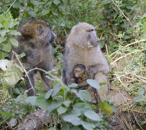 Baby Baboon with Mother.